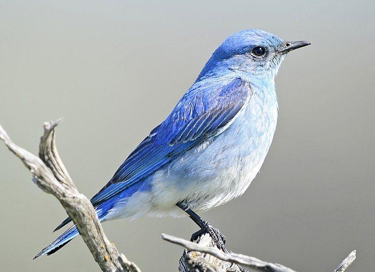 735px-Mountain_Bluebird_6900vv-735x533 The Bluebird of Happiness